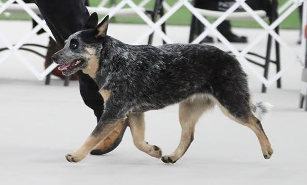 Australian Cattle Dog Texas
