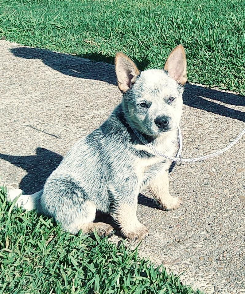 blue heeler puppy for sale texas