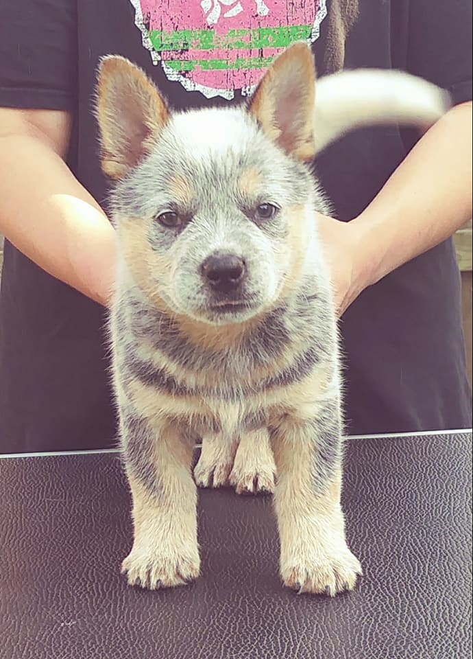 Texas Australian Cattle Dog Puppy For Sale
